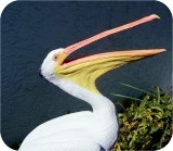 1-4w-White-Pelican-OM-31, Life-sized White Pelican statue - Open Mouth, birds, pelicans, sculpture, statue, art
