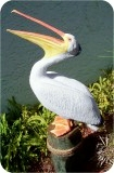 1-4w-White-Pelican-OM-36, Life-sized White Pelican statue - Open Mouth, birds, pelicans, sculpture, statue, art