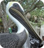 Painted Pelican Statues,7 feet tall and more!