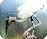 Wood-Stork-Lifesize-591, Wood Stork Feeding Lifesize 22 in. , birds, wood-stork, sculpture, statue, art