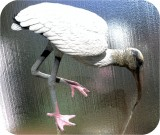 Wood Stork Feeding Lifesize 22 in. , birds, wood-stork, sculpture, statue, art