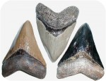Fossil SHARK TOOTH 5-1/2 in., fossils, , sculpture, statue, art