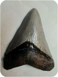 15_1_shktooth300400t, Fossil SHARK TOOTH 5-1/2 in., fossils, , sculpture, statue, art