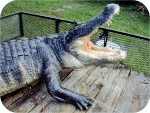 Alligator-Sculpture-13-ft-441, Alligator Sculpture 15 Ft. , reptiles, Alligator-Statue-13ft, sculpture, statue, art