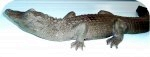 American Alligator 3-4ft Tint, reptiles, alligators, sculpture, statue, art