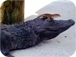 14_2b_alligator_3_4_raw_anolelizzard, American Alligator 3-4ft Tint, reptiles, alligators, sculpture, statue, art