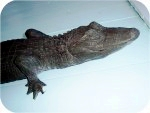 14_2b_alligator_3_4_raw_head, American Alligator 3-4ft Tint, reptiles, alligators, sculpture, statue, art