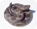 Coiled Rattlesnake 8 in. , reptiles, snakes, sculpture, statue, art