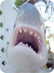Shark-Great-White-3ft-painted-jaws