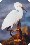 View snowy egret wood100300 jpg